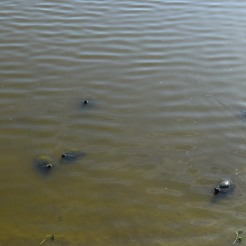 Those are turtles. Can you tell? If you can't that's cool.